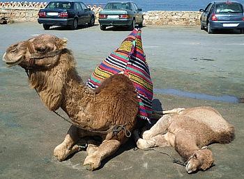 Kamelmama mit Jungem auf dem Parkplatz der Herkules Grotte bei Tanger