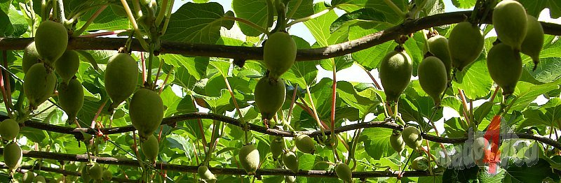 Kiwi cultures with half-ripe fruits