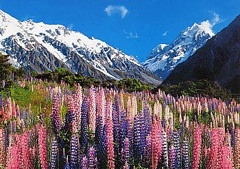 Blühende Lupinen in der Mt.Cook Region