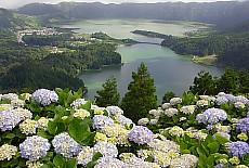 Hortensien am Kratersee Cete Cidades São Miguel (August)
