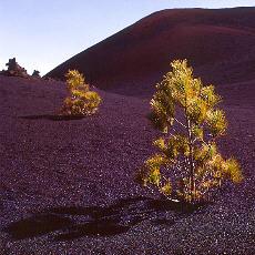 Erste Kiefern auf der Lava (Dezember)