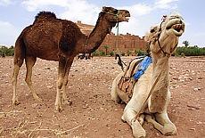 Kamele vor der Kasbah Ait Ben Haddou nahe Quarzazate (April)