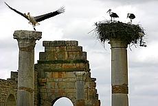 Störche brüten auf den römischen Säulen von Volubilis (Januar)