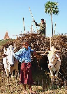 Ochsengespann in Bagan (Januar)