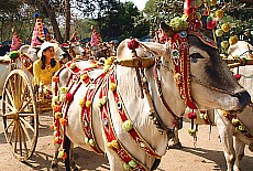 Prachtvoll geschmücktes Ochsengespann auf einem Novizenfest (August)