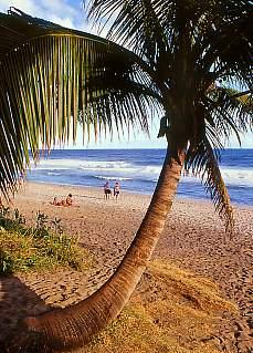 Palmen am Strand von Grand Anse (Oktober)