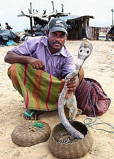 Schlangenbeschwörer mit Kobra am Fischmarkt in Negombo (Februar)