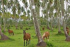 Kokosnussfarm mit Pferden auf Tahiti (November)