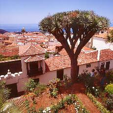 Drachenbaum in La Orotava (Februar)
