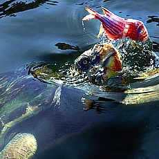 Karett Schildkröte in der Sumpflandachaft von Dalyan (September)
