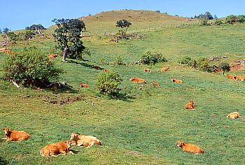 Cows are grazing on the Plaine des Cafres