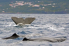 Whale watching in Lajes (November)