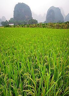 Reisfeld in den bizarren Karstbergen von Yangshuo (August)