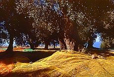 Olivenernte bei Palinuro (Oktober)