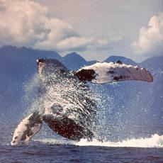 Buckelwal vor Neufundland (Juli)