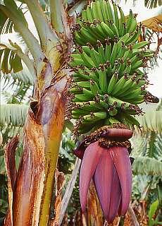 Bananenplantage (März)