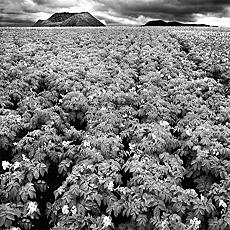 Tomatenfeld auf Lanzarote (Februar)