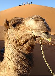 Kamelritt in den Dünen von Merzouga (April)