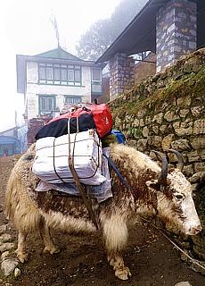 Yaks, die Lastwagen der Berge (Oktober)