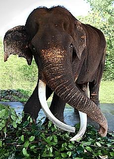 Alter Elefant im Elefantenwaisenhaus Pinnawela (März)