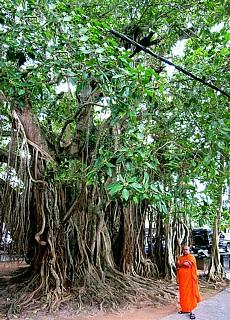 Gigantischer Wasserbaum in Galle (November)