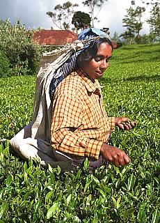 Teepflückerin im Hochland von Nuwara Eliya (Juli)