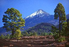Kiefern mit schneebedecktem Teide (Mai)